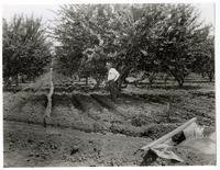 An apricot orchard under irrigation, California