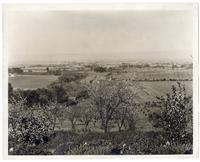 Peach groves in the Santa Clara Valley, California