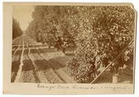 Irrigated orange grove, ca. 1888-1889