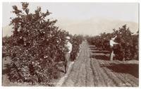 Picking Oranges Near Snow Fields, Southern California. Park Photo.