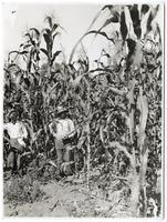 Fourteen foot corn in Livingston, Merced County, California