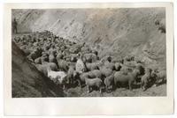 Sheep in a ditch, circa 1924