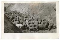 Sheep in a ditch, circa 1924
