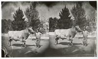 Man with a large cow on the street in front of a house
