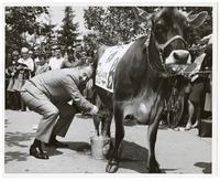 Art Linkletter milks a cow on the UC Berkeley campus as part of a UC Davis-Berkeley Agricultural Competition