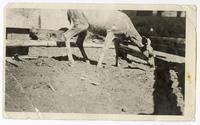 Diseased baby animal, circa 1924
