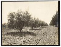 Female child and dog in an olive grove