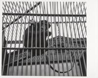 Caged chimpanzee, San Francisco Zoo, San Francisco