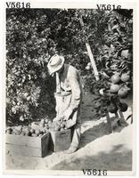 Agricultural worker harvesting oranges