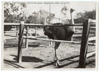 Full feathered ostrich, Los Angeles, California, February 5, 1920
