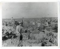 Agricultural laborers at the J. de Barth Shorb Vineyards, San Marino, California