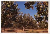 Pistachio Orchard, San Joaquin Valley, California
