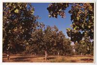 Pistachio Orchard, San Joaquin Valley, California
