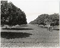 Mature fig orchards in the San Joaquin Valley in Central California