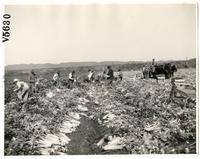 Agricultural workers harvesting celery in Los Angeles County, California