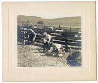 Ranchers branding livestock