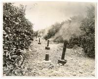 Smudge pots at work to keep orange trees from freezing in an orchard