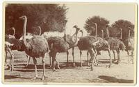 A flock of ostriches at the South Pasadena Ostrich Farm, February 1899