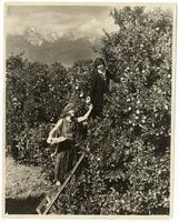 Women picking oranges in an orchard