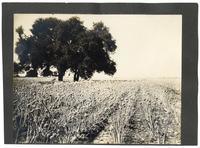 Onion field near Sunnyvale, California