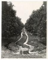 From concrete heads the water flows into furrows previously plowed between the rows of orange trees
