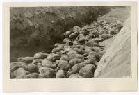 Destroying sheep to prevent spread of disease, circa 1924
