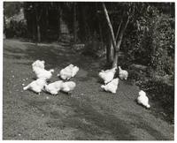 Flock of chickens feeding