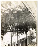An arbor of grapes