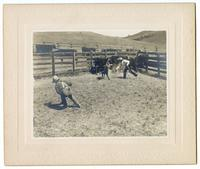 Cowboys wrangling a young cow