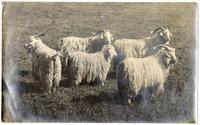 Augora goats, raised in San Jose, California