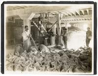 Workers sacking beet sugar at factory, California