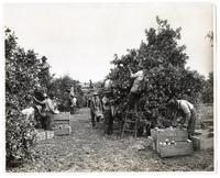Agricultural workers picking oranges in California