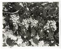 Clusters of grapes on the vine