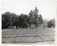 Agricultural workers drying out prunes