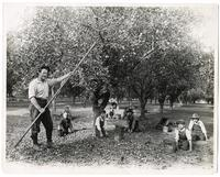 Man and children harvesting prunes in Santa Clara County, California