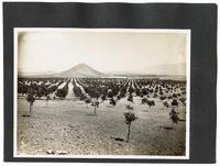Young orange orchard, California
