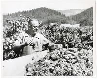 Field manager Fred Berry at Krug Winery in Napa California, 1970