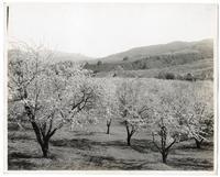 Peach groves blossoming in the Santa Clara Valley, California