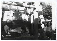 A harnesed cow at Duncans Mills, Sonoma County