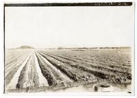 Irrigating onions on date farms, California