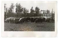 Flock of pigs grazing, circa 1924