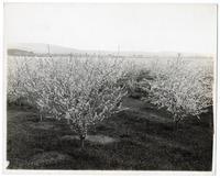 Prune blossom time in Santa Clara County, California