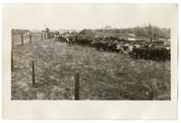 Herd of cattle, circa 1924