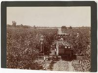 Arigicultural workers harvesting lemons in California