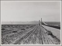 Lima bean field on sandy soil (hay piles), Imperial Highway
