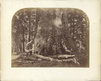 Section of the Grizzly Giant, Mariposa Grove, Yosemite [CEW 111]