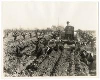 Agricultural worker using a Caterpillar 20 tractor to cultivate a grape vineyard