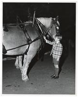 Young child touching a fully harnessed horse