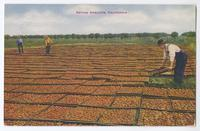 Drying Apricots, California