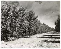 Peaches hang heavy for harvest in this beautiful peach orchard